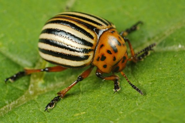 Potato_beetle_areal